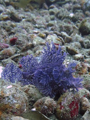 Picture of a purple fish.