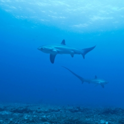 Picture of thresher sharks in the ocean in Malapascua.