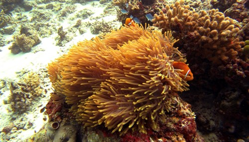Picture of a coral reef with clown fish.