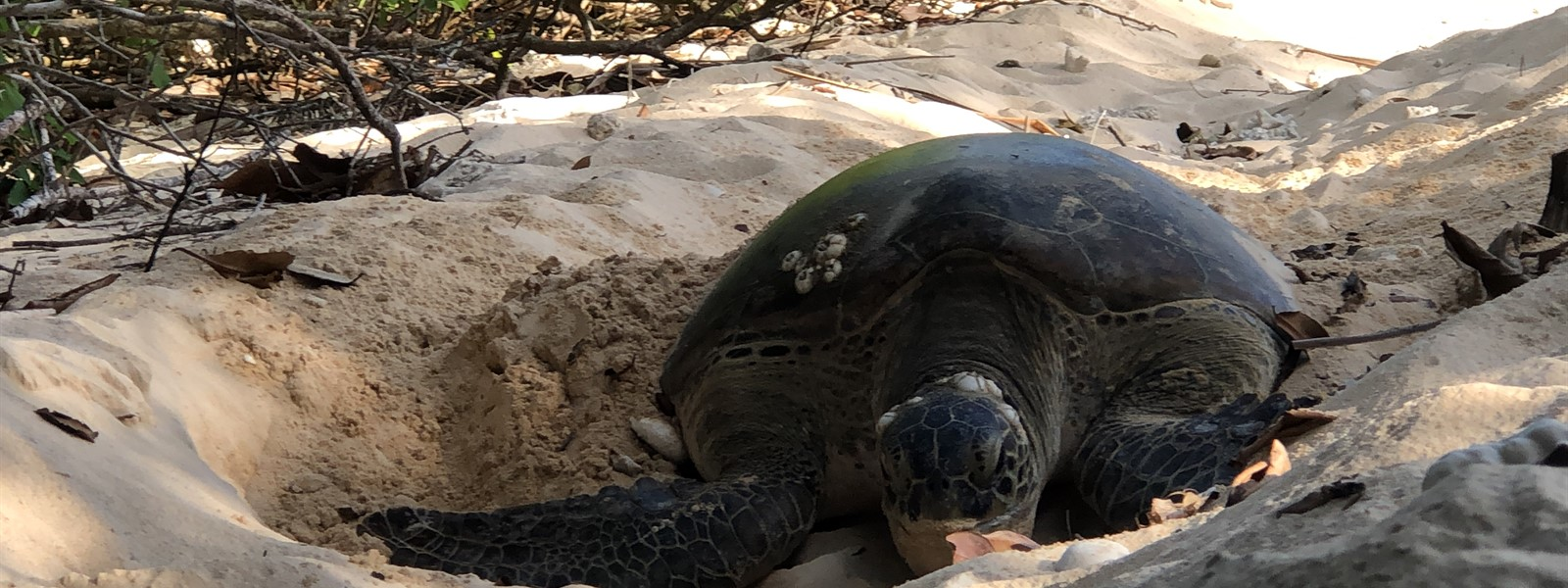 Picture of a turtle on a beach.