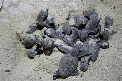 Picture of baby turtles in the sand.