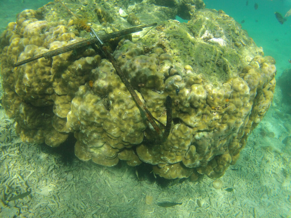 Photo of an anchor attached to a coral colony