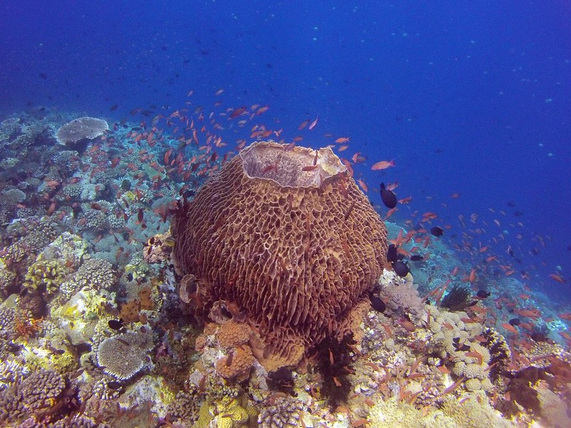 Barrel Sponge in Verde Island coral reef