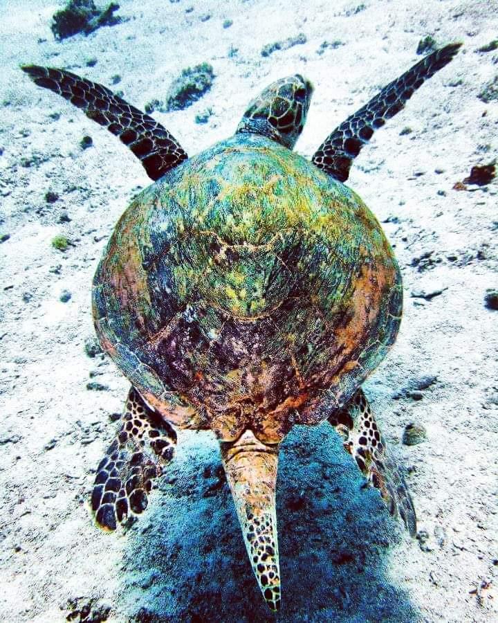 Green turtle in Dahab